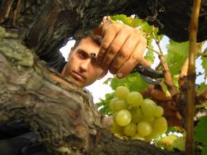 Taille de vigne